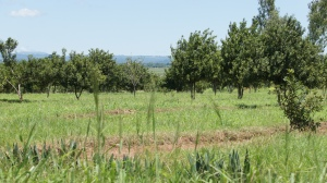 Macademian nut plantation